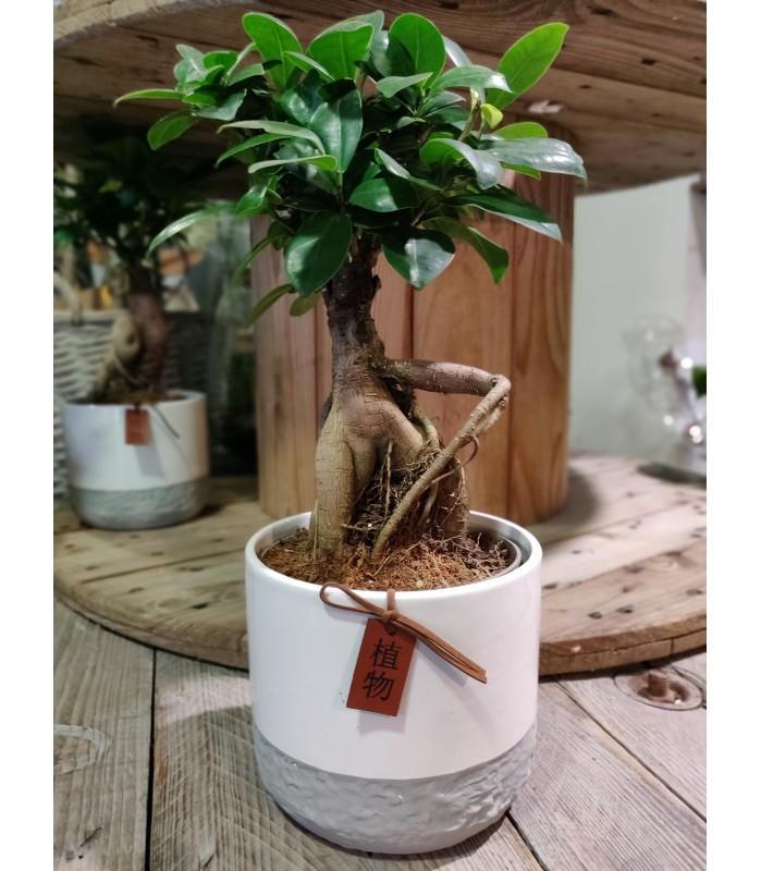Ficus et son cache pot - taille M
