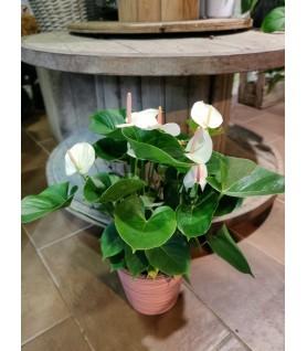 Anthurium blanc et son cache pot
