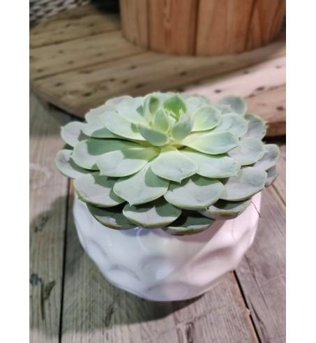 Composition succulente - Echeveria et son cache pot