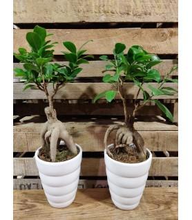 Ficus et son cache pot - taille S