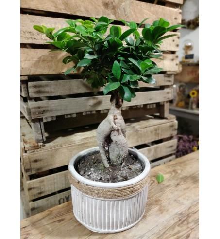 Ficus et son cache pot - taille L